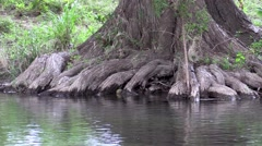 Huge Cypress tree in water on a stream Stock Footage