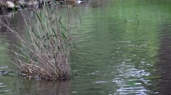 Tall grass in the spring fed water in a stream Stock Footage