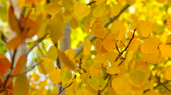 Aspen Autumn Leaves Stock Footage