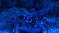 Lobster feeding under blue light Stock Footage