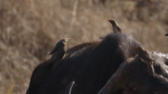 Red-billed Oxpeckers sitting on the back of a buffalo Stock Footage