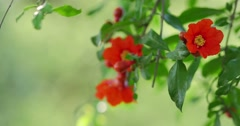 Pomegranate flowers growing on a branch. Shallow DOF, copyspace. 4K UHD. Stock Footage