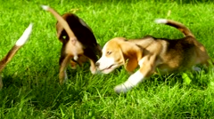 Cute Beagle dogs running across the grass summer day. Slow motion Stock Footage