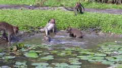Monkeys bathe and play in island of Bali. Sacred Monkey Forest, Ubud, Indonesia Stock Footage