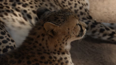 Two Cheetahs lying in the sand Stock Footage