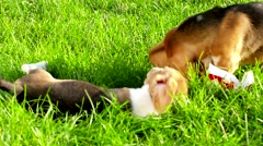 Show dog of breed of beagle on a natural green background Stock Footage
