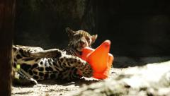 Leopard cub playing with plastic toy Stock Footage