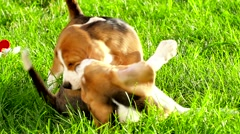 Profile of beagle dog. Slow motion Stock Footage