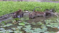 Monkeys bathe and play in island of Bali. Sacred Monkey Forest, Ubud, Indonesia Stock Footage