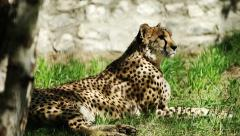 Gepard resting in the zoo, tracking Stock Footage