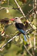 Woodland kingfisher - stock photo