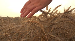 Man's hand is touching both hands to the ears of ripe wheat in a field, a farmer Stock Footage