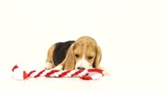 Beagle dogs sniffing in red stick Stock Footage