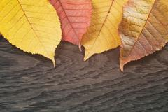 Autumn cherry leaves on wood background Stock Photos