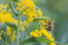 Bee on yellow flowers Kuvituskuvat