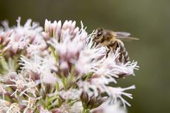 Bee on epatorium purpureum Kuvituskuvat