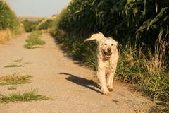 Golden Retriever walking along Corn fields - stock photo