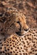 Portrait of a Cheetah - stock photo