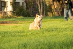 Golden Retriever Fetching Ball - stock photo
