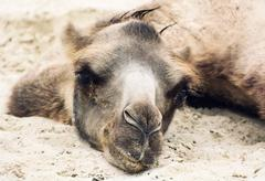 Bactrian camel lying and relaxing in the sand by summer - stock photo