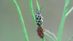 Pentatomidae beetle, two soldier striped, spilostethus Pandurus, 4k Stock Footage