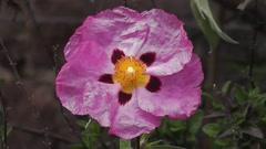 Pentagon Flower Geometry Arkistovideo