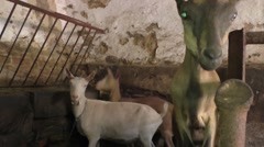 Three goats in the barn Stock Footage