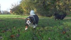 King Charles Cavalier Spaniel Dogs Walking Field Park Playing Slow Motion Stock Footage