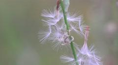 Fluffy dandelion seeds, flower, macro Stock Footage