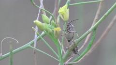 Pentatomidae beetle, White soldier striped, spilostethus Pandurus, 4k Stock Footage