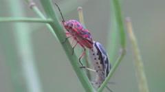 Pentatomidae beetle, red soldier striped, spilostethus Pandurus, 4k Stock Footage