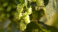 detail of hops field in the breeze,zoom out,real time - stock footage