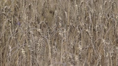 Barley field, hordeum vulgare, ripe summer crop - full screen Stock Footage