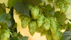 Detail of hop field befor the harvest, zoom out Stock Footage