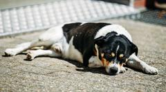Dog Is In Yard, Exhausted From Summer Heat - stock photo