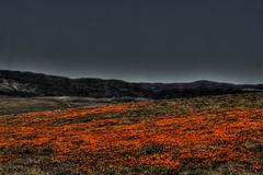 Nightime Poppy Field - stock photo