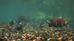 SPAWNING SOCKEYE SALMON BITES ANOTHER FISH – UNDERWATER Stock Footage