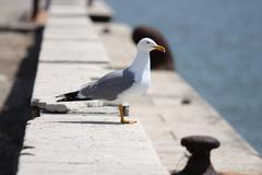 The Sea gull.Blanching sea gull costs on quay - stock photo