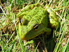 Frog In the Grass Stock Photos