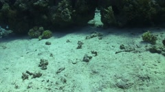 Blue Spotted Stingray on Coral Reef Stock Footage