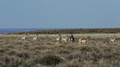 PRONGHORN ANTELOPE IN DESERT RUN THROUGH SAGE BRUSH Stock Footage
