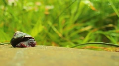 Snail Coming out of Shell and Crawling Stock Footage