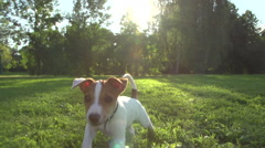 Very cute puppy Jack Russell Terrier running around the grass in the Park , slow Stock Footage
