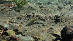 SMALL SALMON MINNOW SWIMS CLOSE TO RIVER FLOOR – UNDERWATER Stock Footage
