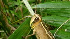 Grasshopper on the leaf. Stock Footage