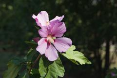 Shrub Mallow (Hibiscus syriacus) - stock photo