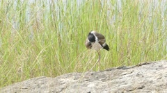 Red-Wattled Lapwing in nature. Stock Footage