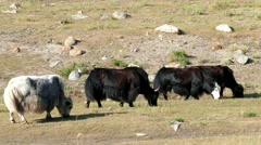 4k – Musk-oxs are grazing in mountains 02 - stock footage