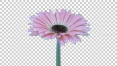 Time-lapse of growing and opening pink gerbera flower with ALPHA Stock Footage