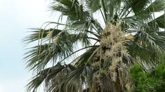 Leaves of Palm tree II. - stock footage